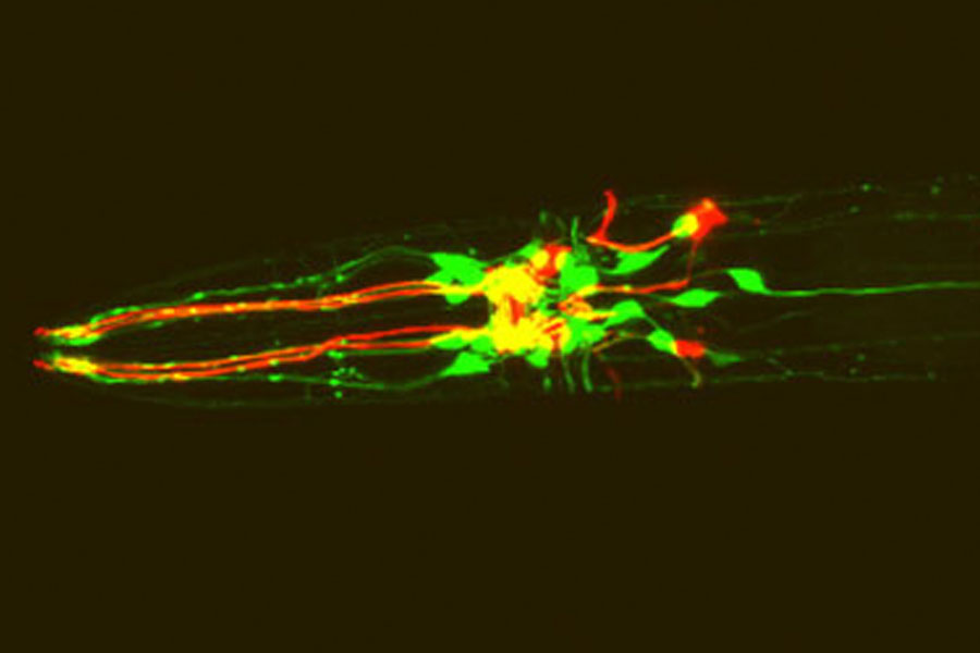 C. elegans expressing red fluorescent protein in dopamine neurons and green fluorescent protein in dopamine receptor-expressing neurons.