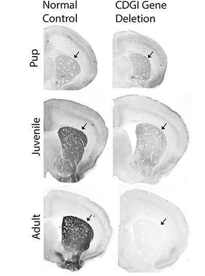 mouse brain images